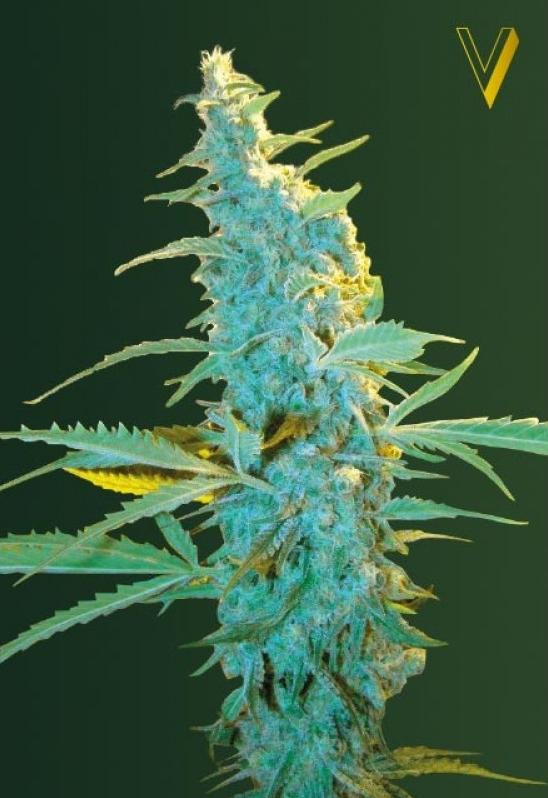 Сорт конопли power plant ленинград полные карманы марихуаны скачать