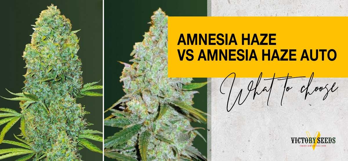 Amnesia Haze or Amnesia Haze Auto – what to choose