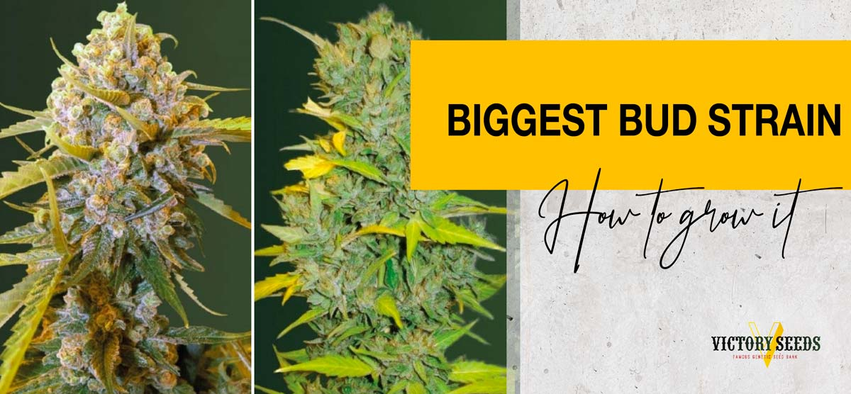 Biggest Bud – what kind of strain is it and how to grow it?