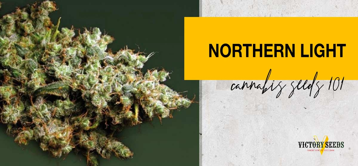 Northern Light Cannabis Seeds 101