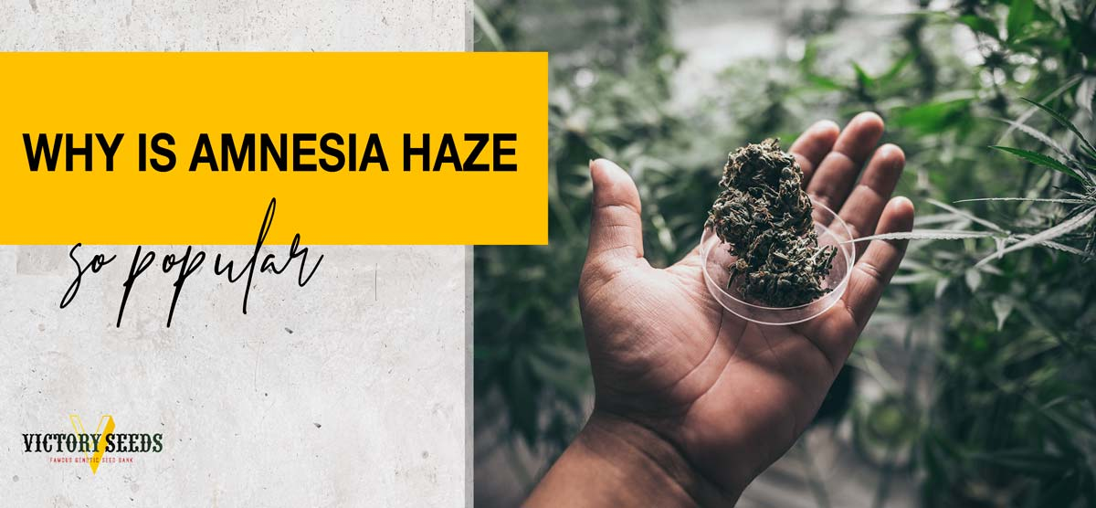 Why is Amnesia Haze so popular?
