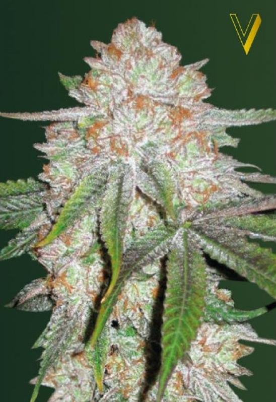 Auto Chocodope Autoflowering strain
