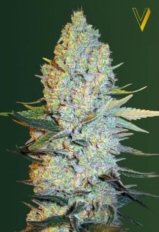 Amnesium strain