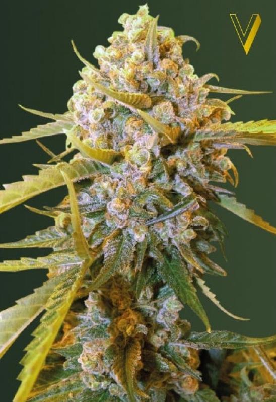 Biggest Bud - the best Indica strain