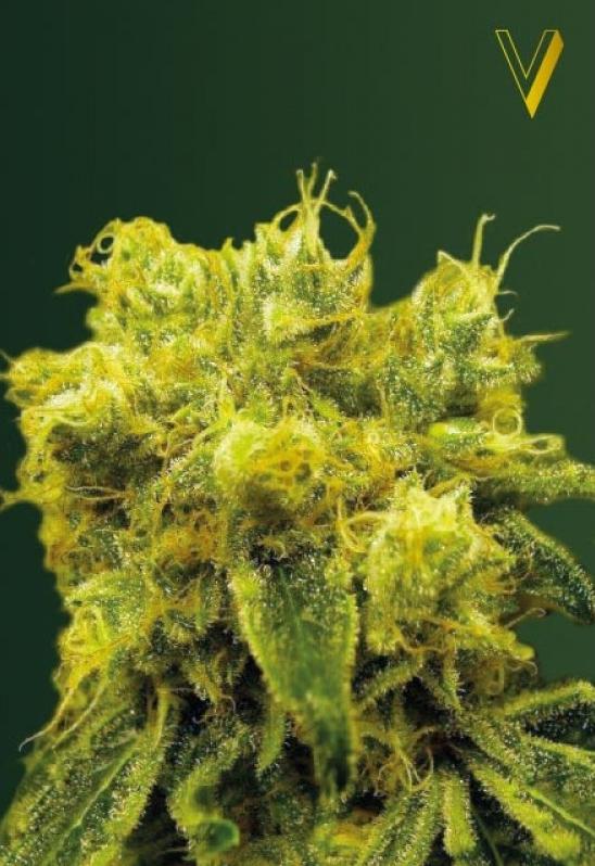 Blow Dream Sativa best strain