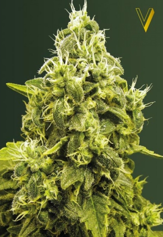 Jack Hammer Victory Seeds strain
