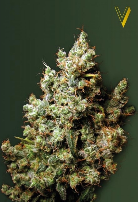 Strongest Indica strain - Northerl Light