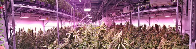 Indoor growing autoflowering cannabis seeds