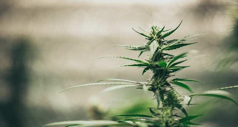 Indoor growing autoflowering cannabis strains