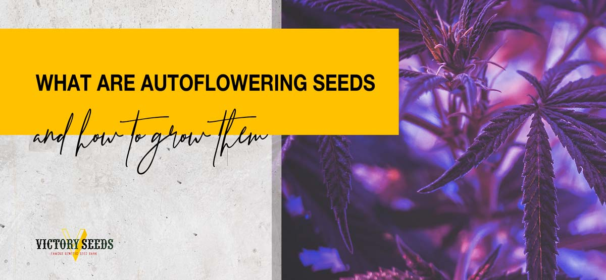 What are autoflowering seeds and how to grow them
